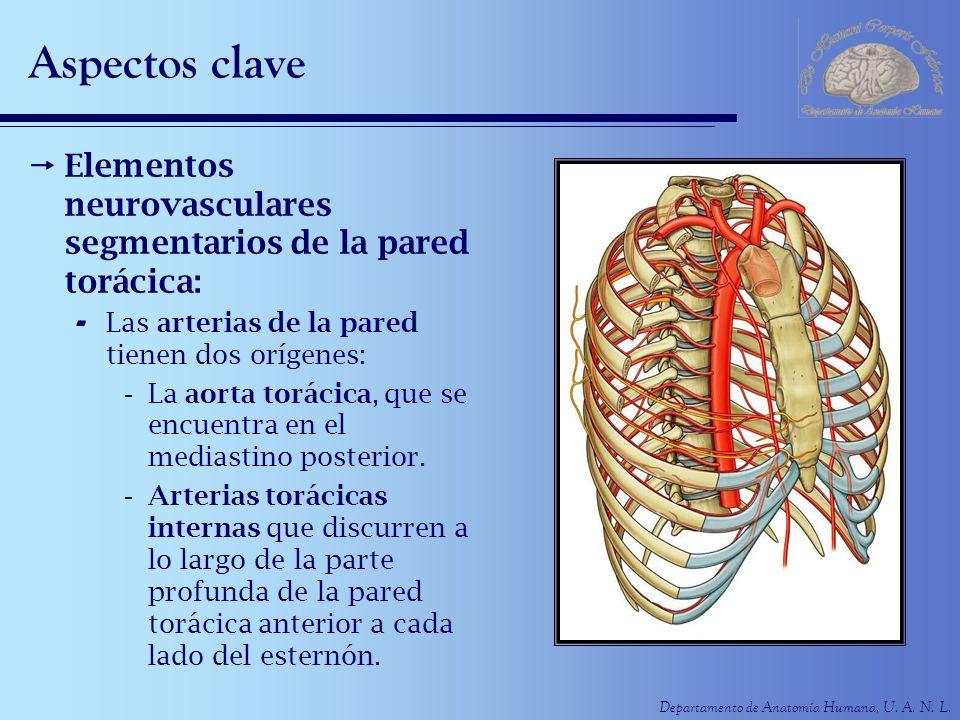 Departamento de Anatomía Humana, U. A. N. L. Aspectos clave Elementos neurovasculares segmentarios de la pared torácica: - Las arterias de la pared ti