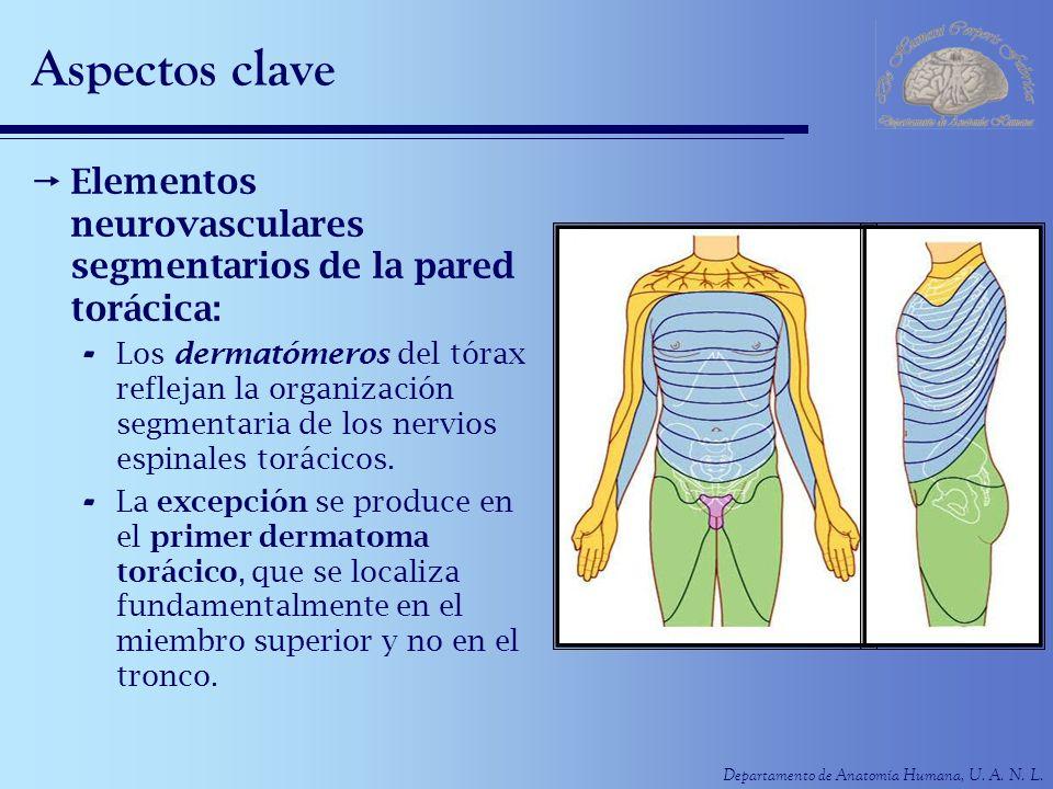 Departamento de Anatomía Humana, U. A. N. L. Aspectos clave Elementos neurovasculares segmentarios de la pared torácica: - Los dermatómeros del tórax