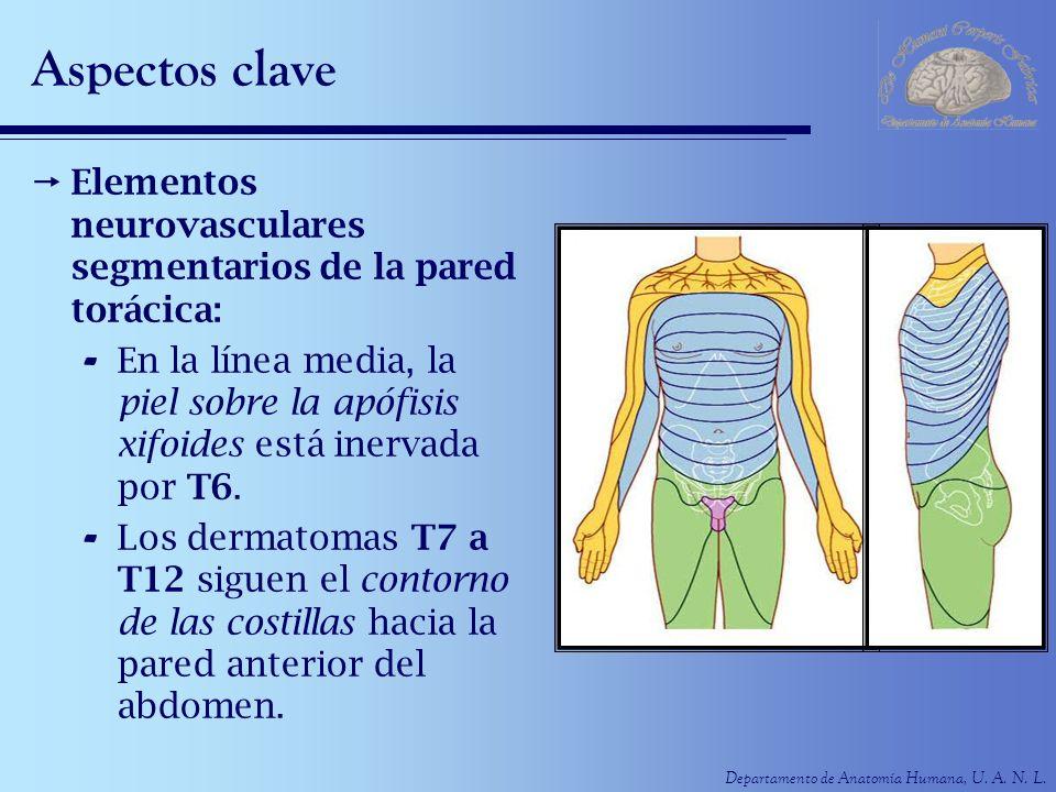 Departamento de Anatomía Humana, U. A. N. L. Aspectos clave Elementos neurovasculares segmentarios de la pared torácica: - En la línea media, la piel