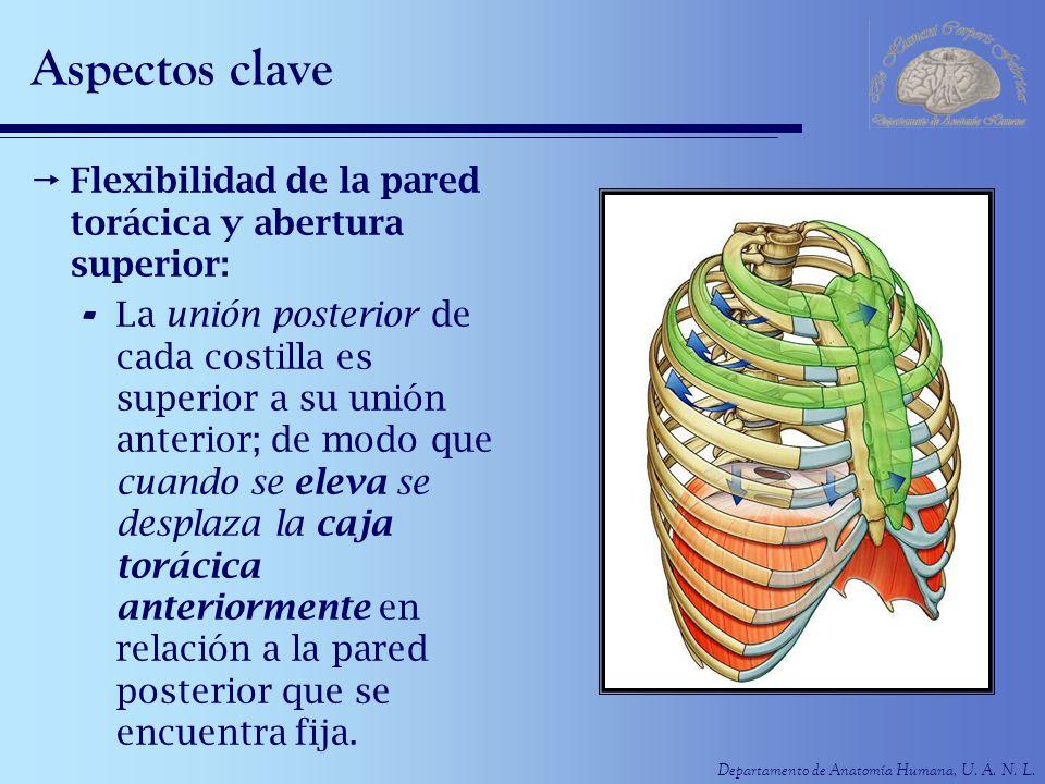 Departamento de Anatomía Humana, U. A. N. L. Aspectos clave Flexibilidad de la pared torácica y abertura superior: - La unión posterior de cada costil