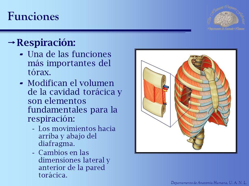 Departamento de Anatomía Humana, U. A. N. L. Funciones Respiración: - Una de las funciones más importantes del tórax. - Modifican el volumen de la cav