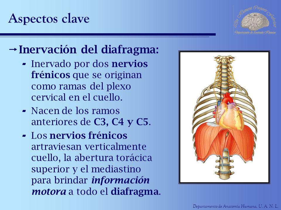 Departamento de Anatomía Humana, U. A. N. L. Aspectos clave Inervación del diafragma: - Inervado por dos nervios frénicos que se originan como ramas d