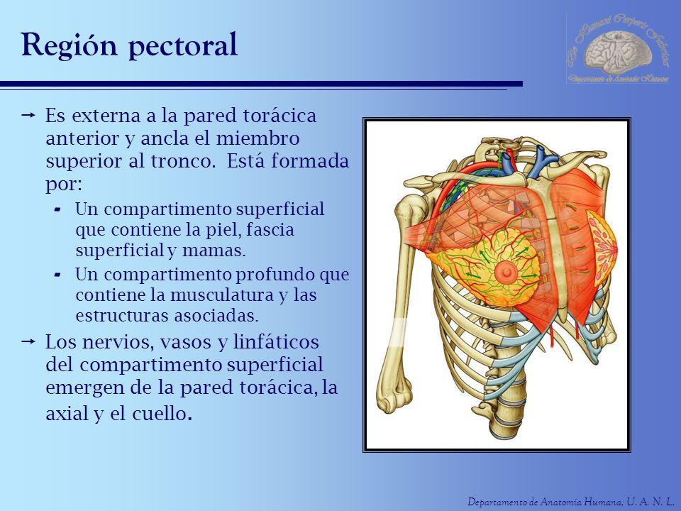 Departamento de Anatomía Humana, U. A. N. L. Región pectoral Es externa a la pared torácica anterior y ancla el miembro superior al tronco. Está forma