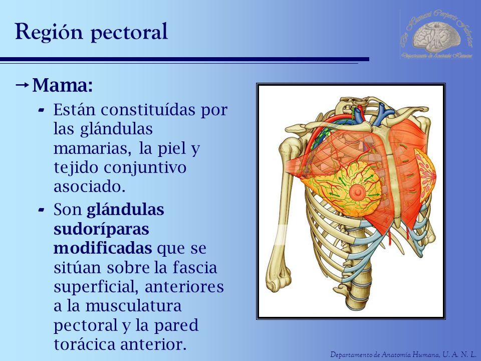 Departamento de Anatomía Humana, U. A. N. L. Región pectoral Mama: - Están constituídas por las glándulas mamarias, la piel y tejido conjuntivo asocia