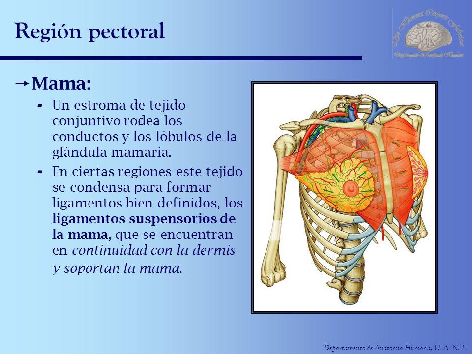 Departamento de Anatomía Humana, U. A. N. L. Región pectoral Mama: - Un estroma de tejido conjuntivo rodea los conductos y los lóbulos de la glándula