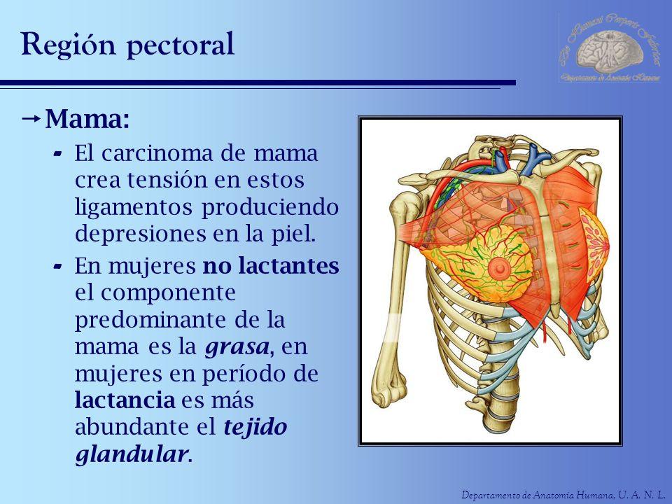 Departamento de Anatomía Humana, U. A. N. L. Región pectoral Mama: - El carcinoma de mama crea tensión en estos ligamentos produciendo depresiones en