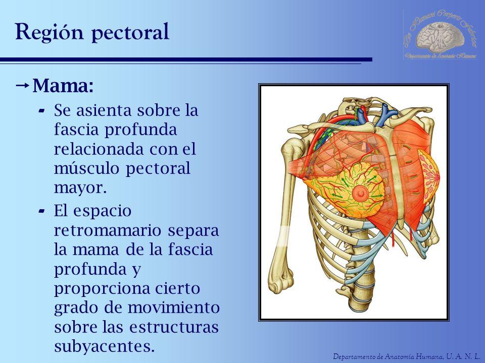 Departamento de Anatomía Humana, U. A. N. L. Región pectoral Mama: - Se asienta sobre la fascia profunda relacionada con el músculo pectoral mayor. -