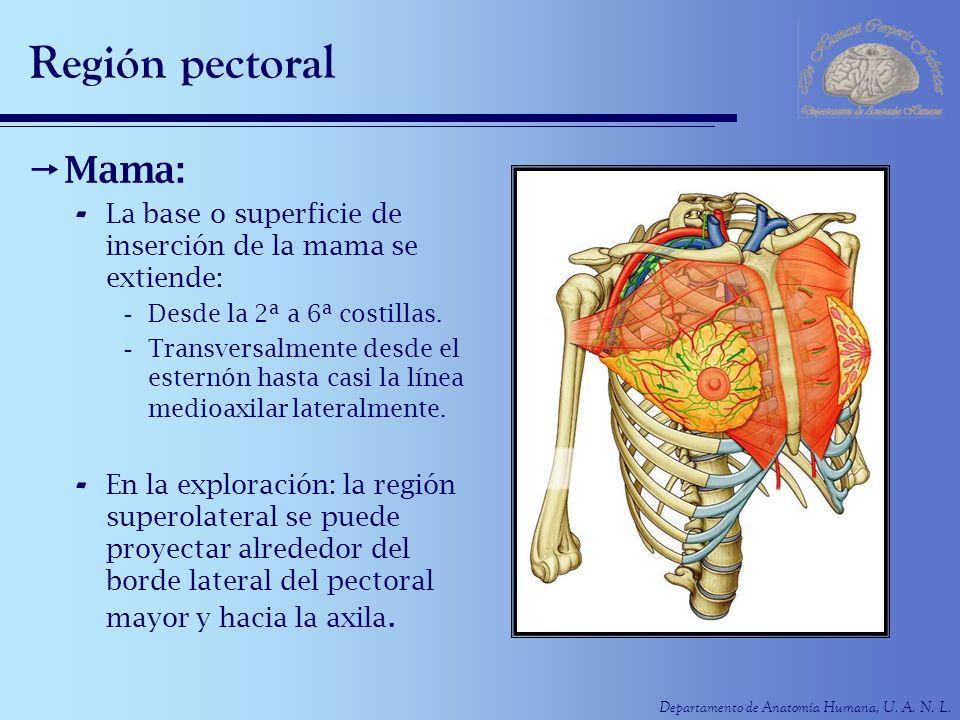 Departamento de Anatomía Humana, U. A. N. L. Región pectoral Mama: - La base o superficie de inserción de la mama se extiende: -Desde la 2ª a 6ª costi