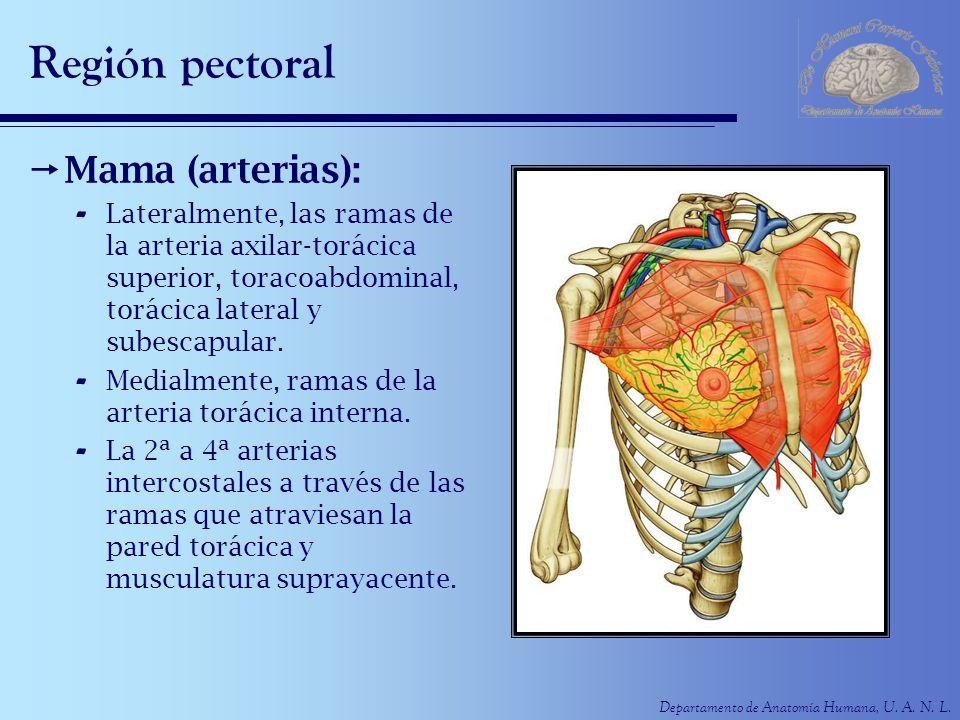 Departamento de Anatomía Humana, U. A. N. L. Región pectoral Mama (arterias): - Lateralmente, las ramas de la arteria axilar-torácica superior, toraco