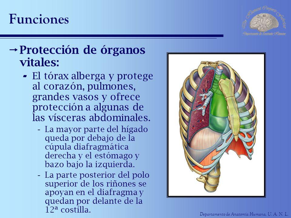 Departamento de Anatomía Humana, U. A. N. L. Funciones Protección de órganos vitales: - El tórax alberga y protege al corazón, pulmones, grandes vasos