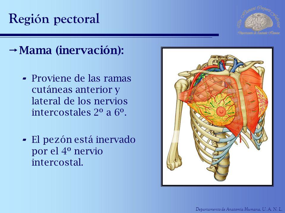 Departamento de Anatomía Humana, U. A. N. L. Región pectoral Mama (inervación): - Proviene de las ramas cutáneas anterior y lateral de los nervios int