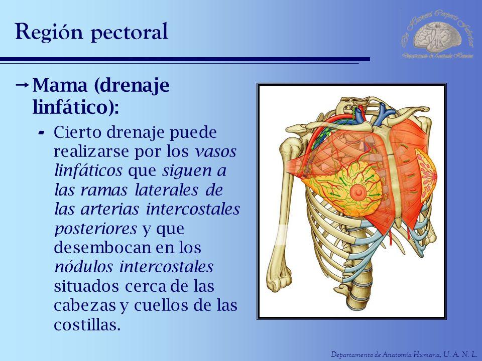 Departamento de Anatomía Humana, U. A. N. L. Región pectoral Mama (drenaje linfático): - Cierto drenaje puede realizarse por los vasos linfáticos que