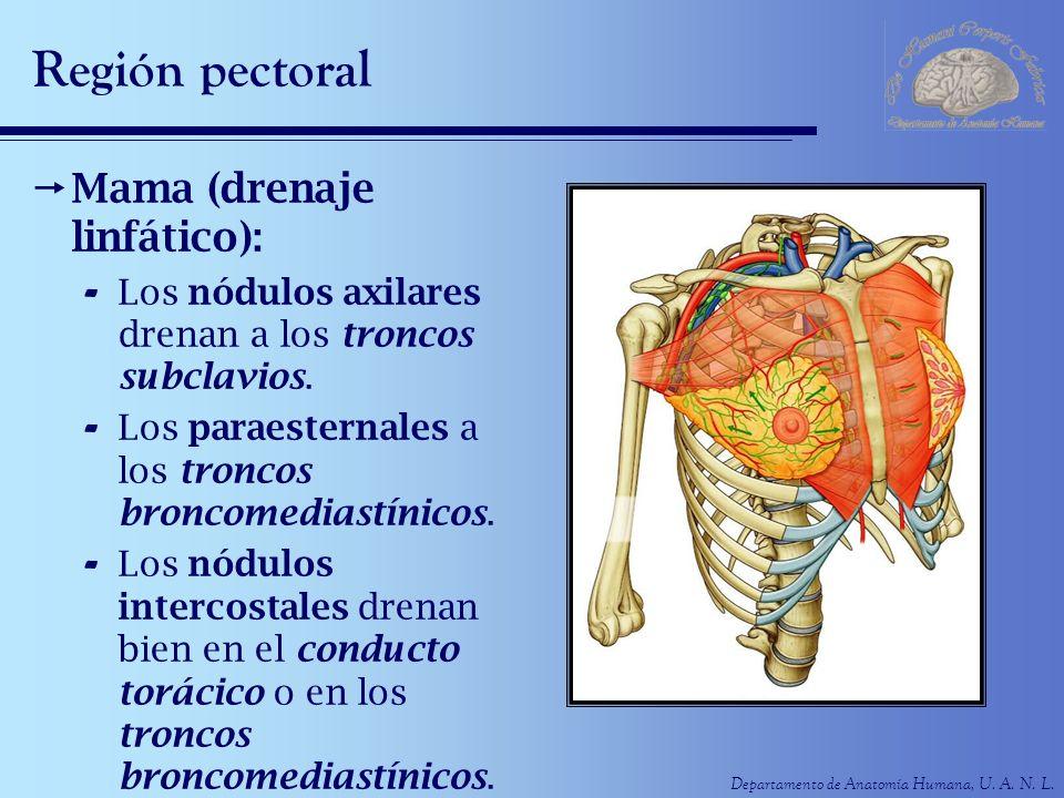 Departamento de Anatomía Humana, U. A. N. L. Región pectoral Mama (drenaje linfático): - Los nódulos axilares drenan a los troncos subclavios. - Los p