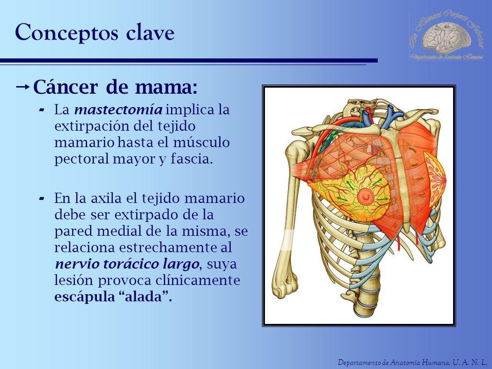 Departamento de Anatomía Humana, U. A. N. L. Conceptos clave Cáncer de mama: - La mastectomía implica la extirpación del tejido mamario hasta el múscu