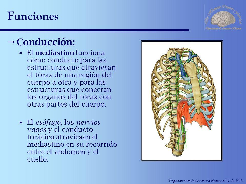Departamento de Anatomía Humana, U. A. N. L. Funciones Conducción: - El mediastino funciona como conducto para las estructuras que atraviesan el tórax