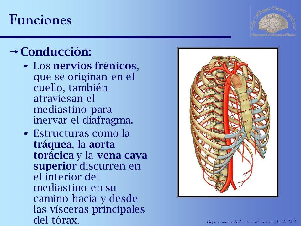 Departamento de Anatomía Humana, U. A. N. L. Funciones Conducción: - Los nervios frénicos, que se originan en el cuello, también atraviesan el mediast