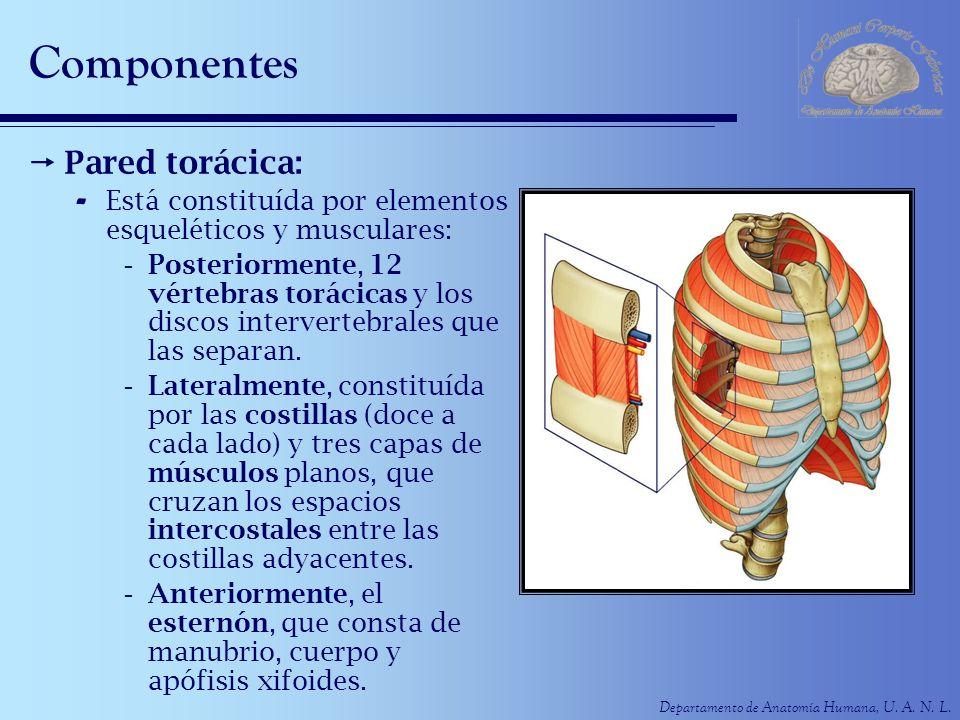 Departamento de Anatomía Humana, U. A. N. L. Componentes Pared torácica: - Está constituída por elementos esqueléticos y musculares: -Posteriormente,