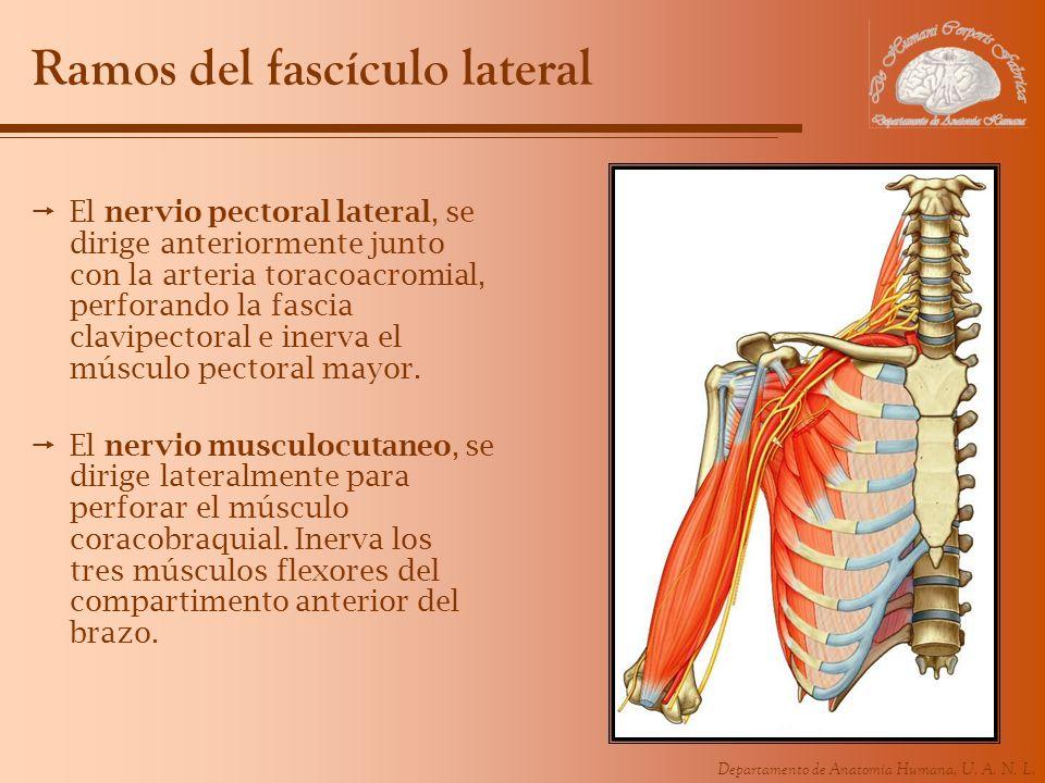 Departamento de Anatomía Humana, U. A. N. L. Ramos del fascículo lateral El nervio pectoral lateral, se dirige anteriormente junto con la arteria tora