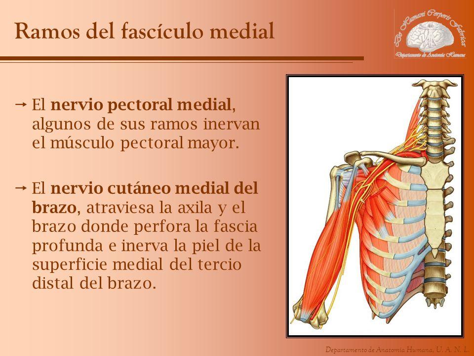 Departamento de Anatomía Humana, U. A. N. L. Ramos del fascículo medial El nervio pectoral medial, algunos de sus ramos inervan el músculo pectoral ma