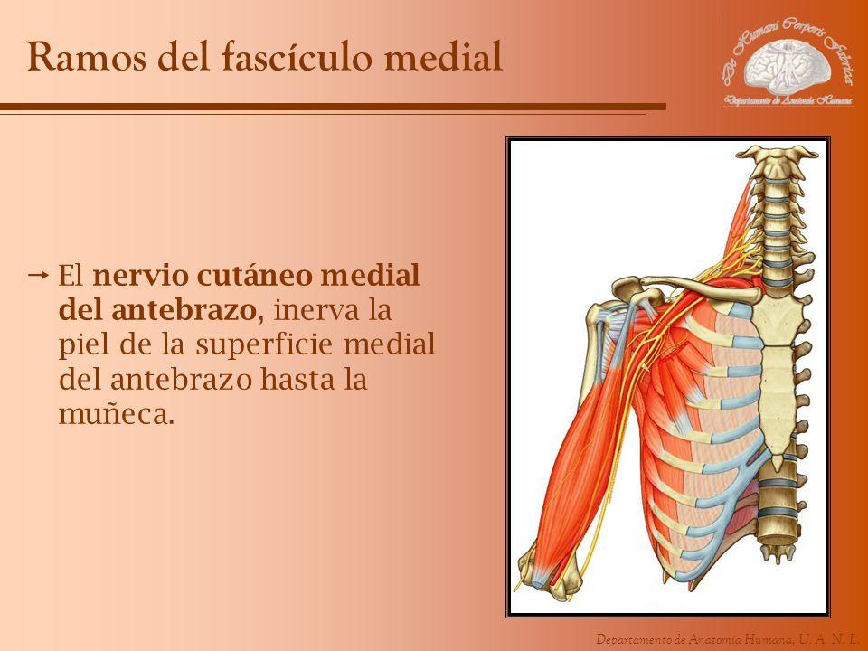 Departamento de Anatomía Humana, U. A. N. L. Ramos del fascículo medial El nervio cutáneo medial del antebrazo, inerva la piel de la superficie medial