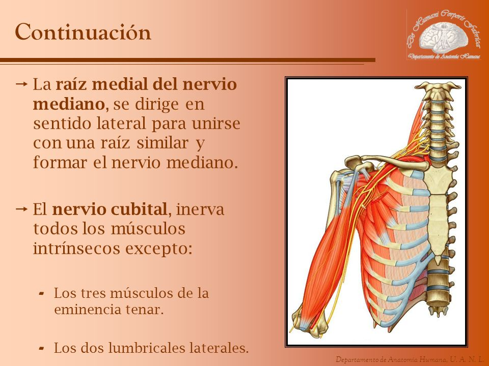 Departamento de Anatomía Humana, U. A. N. L. Continuación La raíz medial del nervio mediano, se dirige en sentido lateral para unirse con una raíz sim