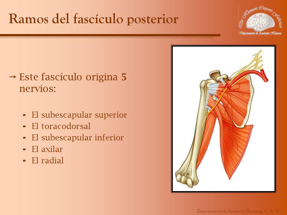 Departamento de Anatomía Humana, U. A. N. L. Ramos del fascículo posterior Este fascículo origina 5 nervios: - El subescapular superior - El toracodor