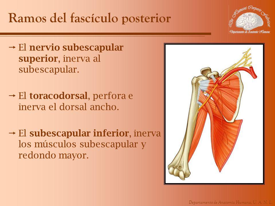 Departamento de Anatomía Humana, U. A. N. L. Ramos del fascículo posterior El nervio subescapular superior, inerva al subescapular. El toracodorsal, p