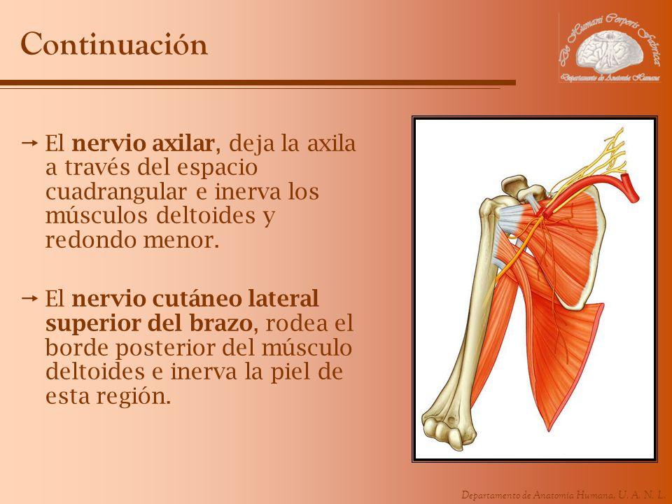 Departamento de Anatomía Humana, U. A. N. L. Continuación El nervio axilar, deja la axila a través del espacio cuadrangular e inerva los músculos delt