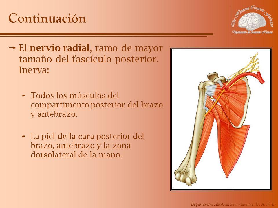 Departamento de Anatomía Humana, U. A. N. L. Continuación El nervio radial, ramo de mayor tamaño del fascículo posterior. Inerva: - Todos los músculos