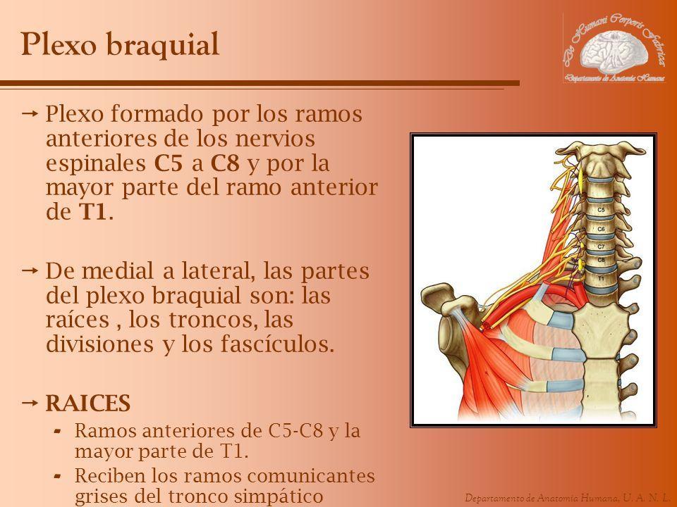 Departamento de Anatomía Humana, U. A. N. L. Plexo braquial Plexo formado por los ramos anteriores de los nervios espinales C5 a C8 y por la mayor par
