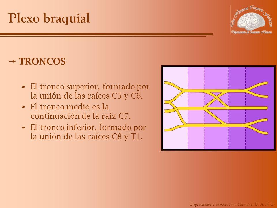 Departamento de Anatomía Humana, U. A. N. L. Plexo braquial TRONCOS - El tronco superior, formado por la unión de las raíces C5 y C6. - El tronco medi