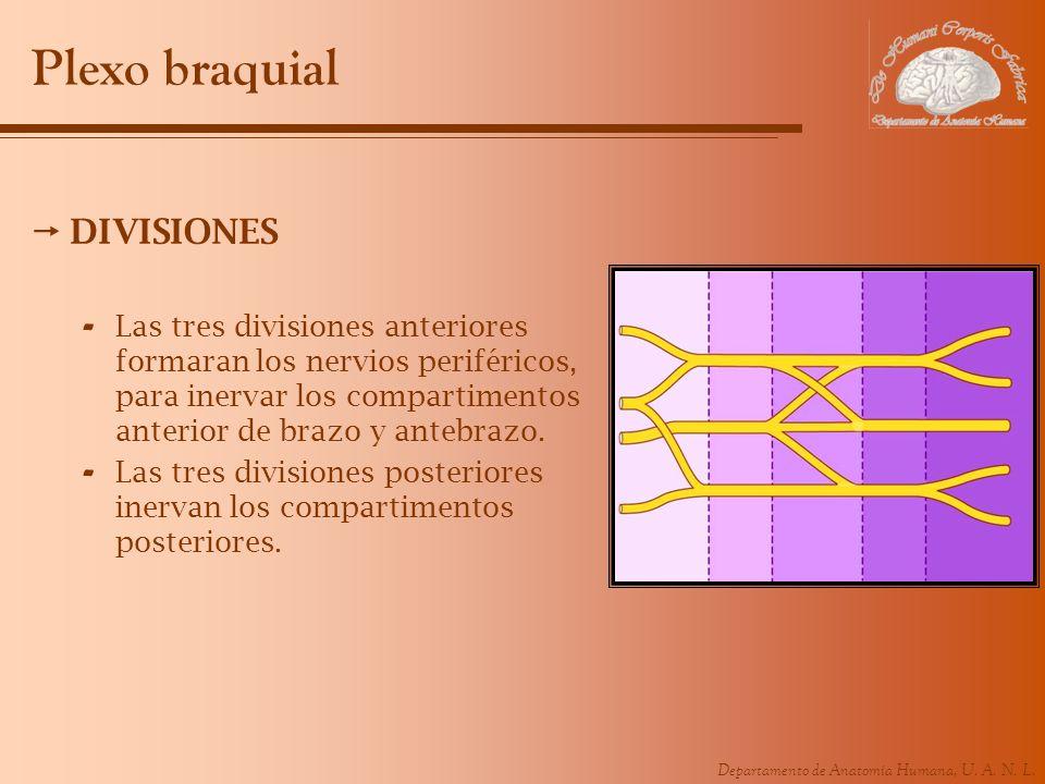Departamento de Anatomía Humana, U. A. N. L. Plexo braquial DIVISIONES - Las tres divisiones anteriores formaran los nervios periféricos, para inervar