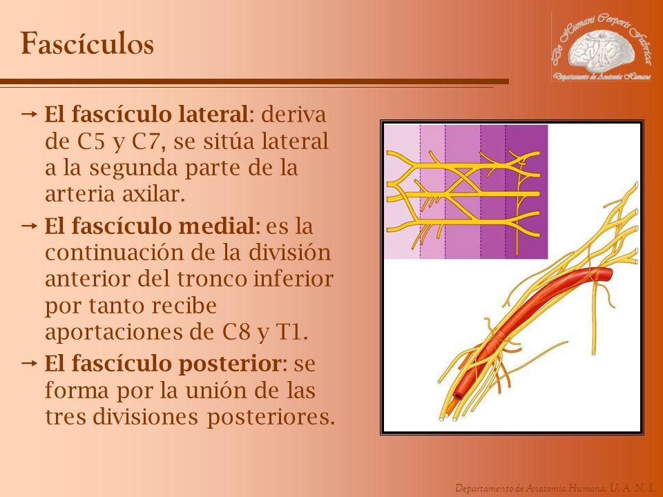 Departamento de Anatomía Humana, U. A. N. L. Fascículos El fascículo lateral: deriva de C5 y C7, se sitúa lateral a la segunda parte de la arteria axi