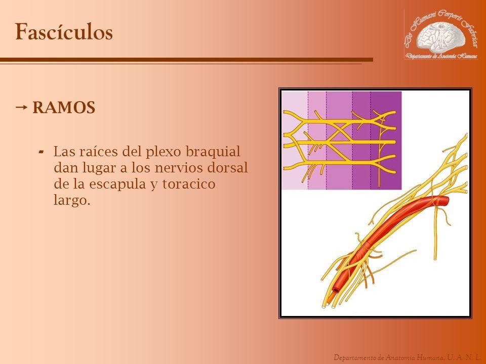 Departamento de Anatomía Humana, U. A. N. L. Fascículos RAMOS - Las raíces del plexo braquial dan lugar a los nervios dorsal de la escapula y toracico