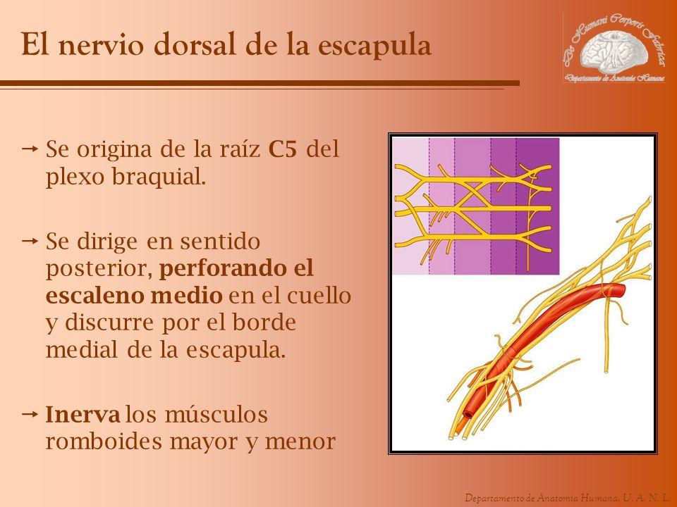Departamento de Anatomía Humana, U. A. N. L. El nervio dorsal de la escapula Se origina de la raíz C5 del plexo braquial. Se dirige en sentido posteri