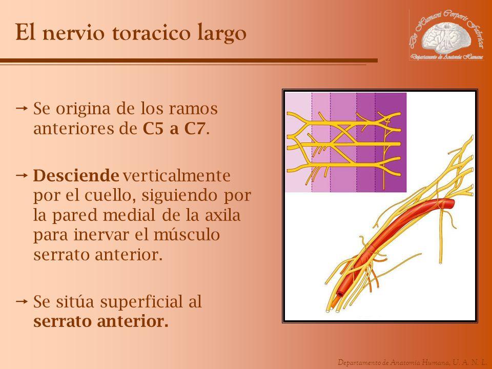 Departamento de Anatomía Humana, U. A. N. L. El nervio toracico largo Se origina de los ramos anteriores de C5 a C7. Desciende verticalmente por el cu
