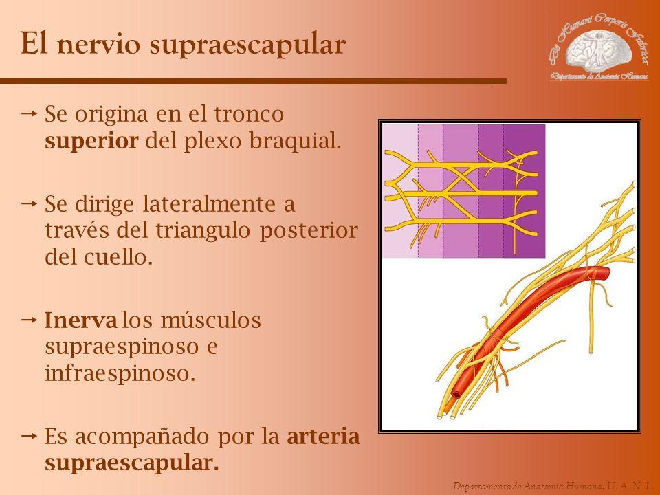 Departamento de Anatomía Humana, U. A. N. L. El nervio supraescapular Se origina en el tronco superior del plexo braquial. Se dirige lateralmente a tr