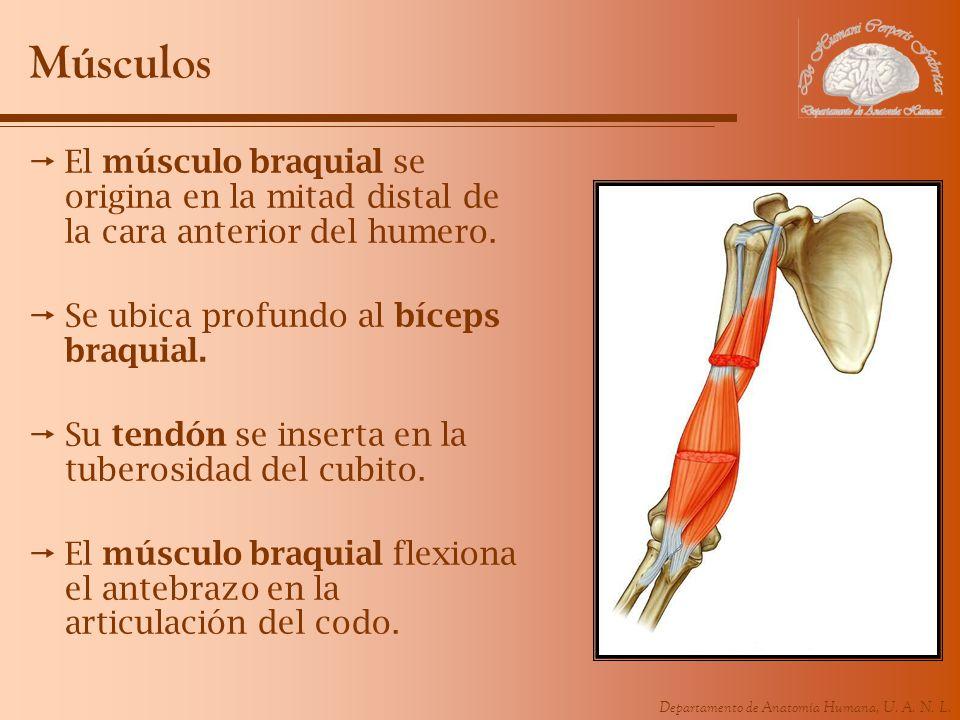 Departamento de Anatomía Humana, U. A. N. L. Músculos El músculo braquial se origina en la mitad distal de la cara anterior del humero. Se ubica profu