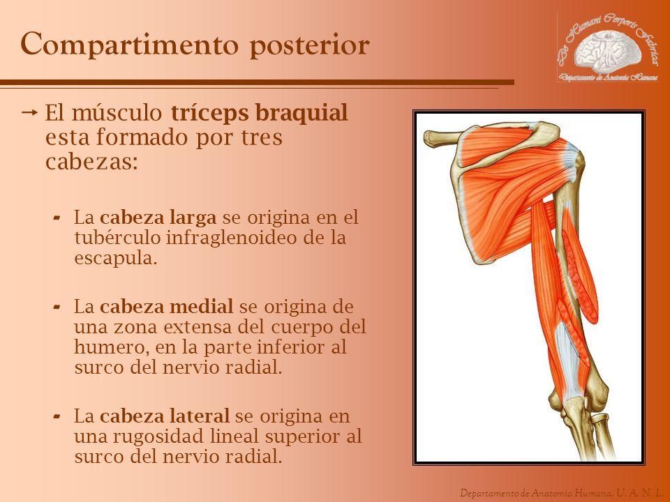 Departamento de Anatomía Humana, U. A. N. L. Compartimento posterior El músculo tríceps braquial esta formado por tres cabezas: - La cabeza larga se o