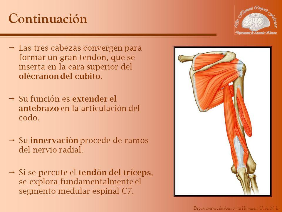 Departamento de Anatomía Humana, U. A. N. L. Continuación Las tres cabezas convergen para formar un gran tendón, que se inserta en la cara superior de