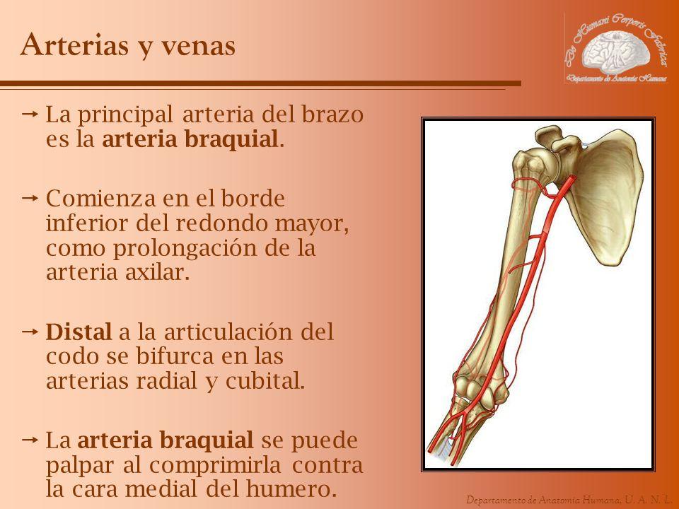 Departamento de Anatomía Humana, U. A. N. L. Arterias y venas La principal arteria del brazo es la arteria braquial. Comienza en el borde inferior del