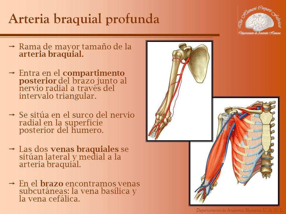Departamento de Anatomía Humana, U. A. N. L. Arteria braquial profunda Rama de mayor tamaño de la arteria braquial. Entra en el compartimento posterio