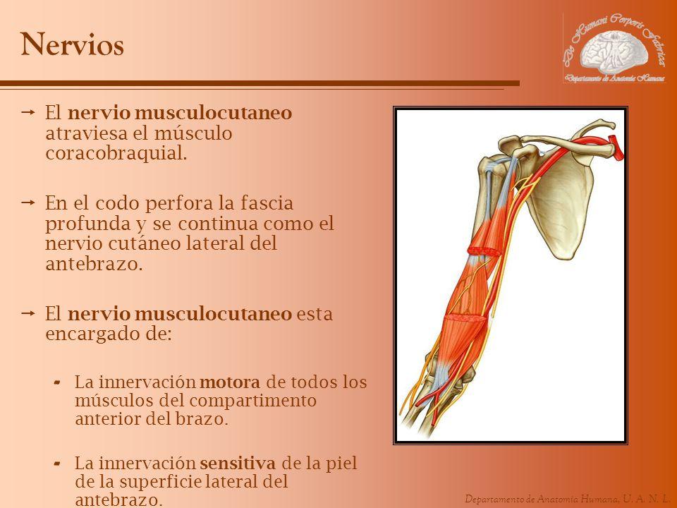 Departamento de Anatomía Humana, U. A. N. L. Nervios El nervio musculocutaneo atraviesa el músculo coracobraquial. En el codo perfora la fascia profun