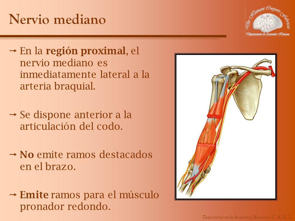 Departamento de Anatomía Humana, U. A. N. L. Nervio mediano En la región proximal, el nervio mediano es inmediatamente lateral a la arteria braquial.