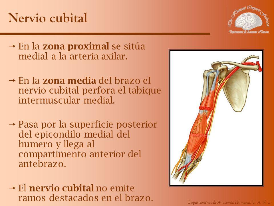 Departamento de Anatomía Humana, U. A. N. L. Nervio cubital En la zona proximal se sitúa medial a la arteria axilar. En la zona media del brazo el ner