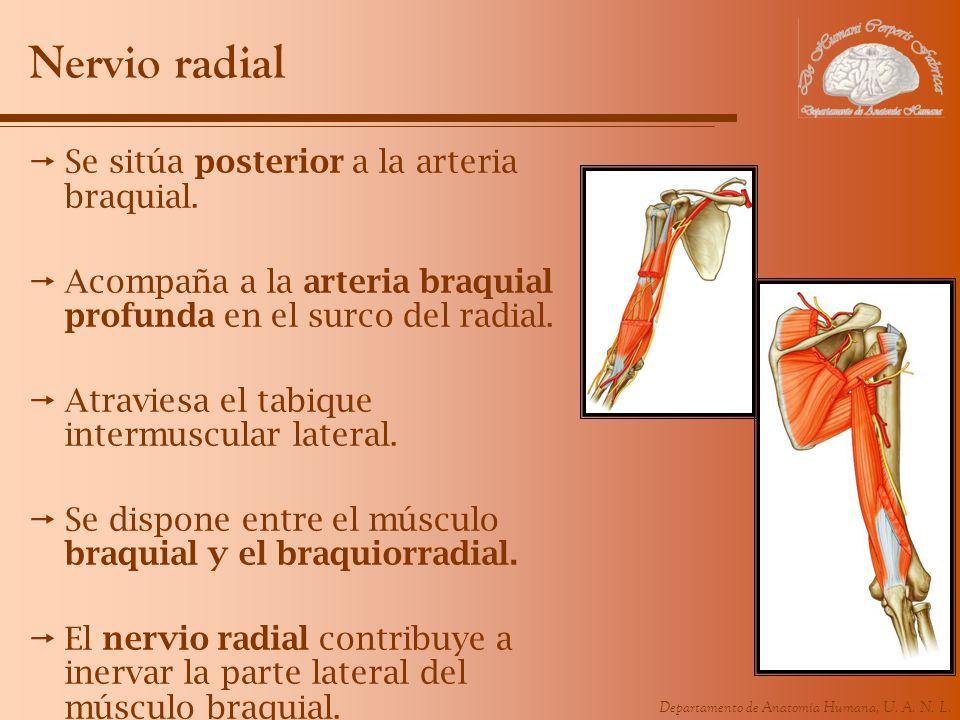 Departamento de Anatomía Humana, U. A. N. L. Nervio radial Se sitúa posterior a la arteria braquial. Acompaña a la arteria braquial profunda en el sur