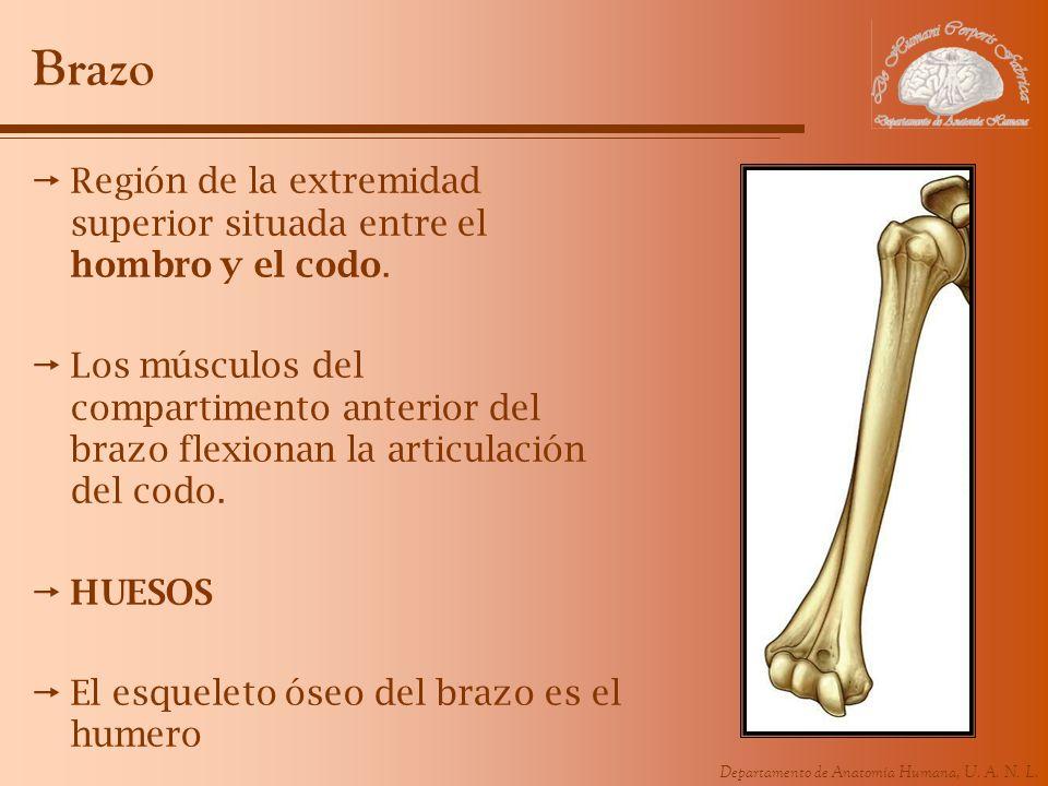 Departamento de Anatomía Humana, U. A. N. L. Brazo Región de la extremidad superior situada entre el hombro y el codo. Los músculos del compartimento