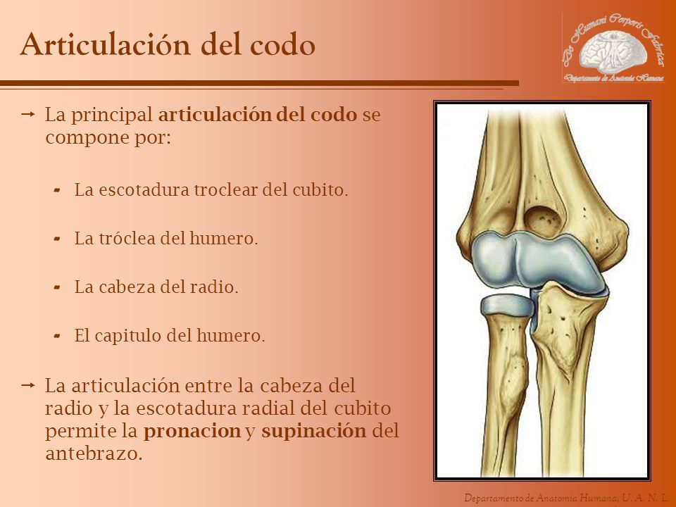 Departamento de Anatomía Humana, U. A. N. L. Articulación del codo La principal articulación del codo se compone por: - La escotadura troclear del cub