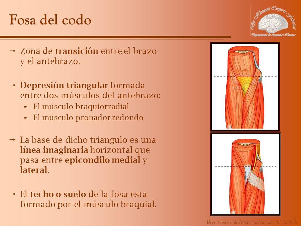 Departamento de Anatomía Humana, U. A. N. L. Fosa del codo Zona de transición entre el brazo y el antebrazo. Depresión triangular formada entre dos mú