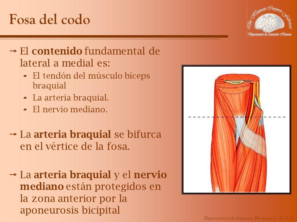 Departamento de Anatomía Humana, U. A. N. L. Fosa del codo El contenido fundamental de lateral a medial es: - El tendón del músculo bíceps braquial -